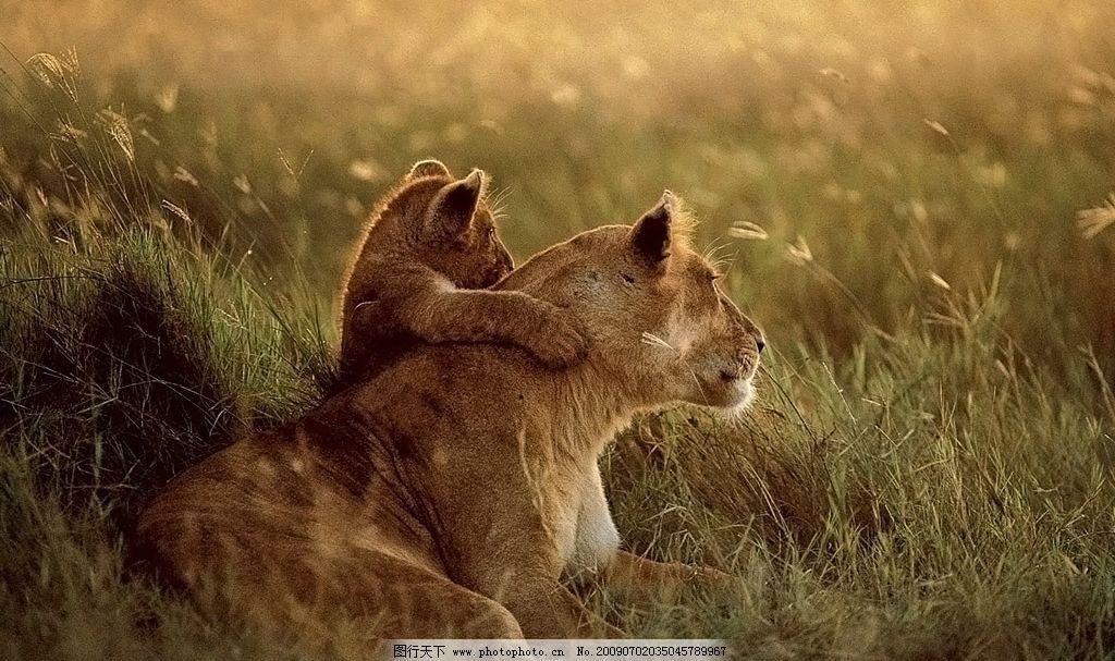 亲子狮子图 母子 父子 草地 杂草 野草 生物世界 野生动物 摄影图库
