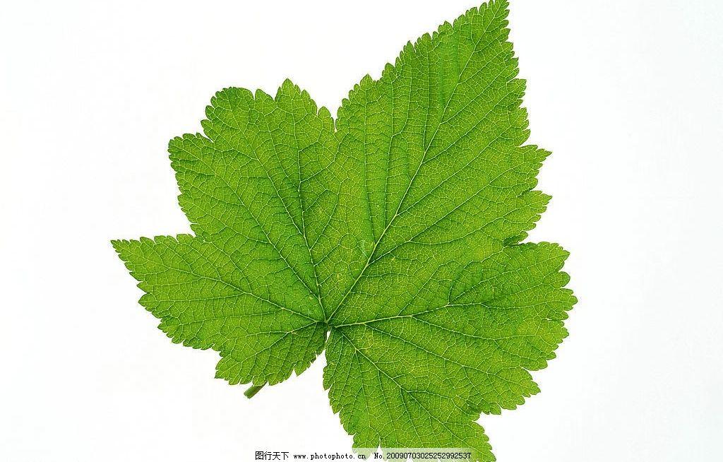 高清晰树叶图片_树木树叶_生物世界_图行天下图库