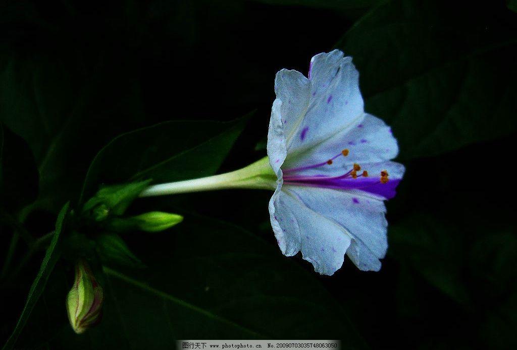 山花 绿叶 花茎 白色 花朵 紫色 花纹 金黄 花蕊 生物世界 花草 摄影