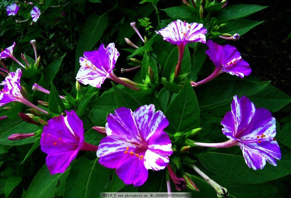 绿叶 花茎 紫色 花朵 白色花纹 金黄 花蕊 点点花蕾 生物世界 花草