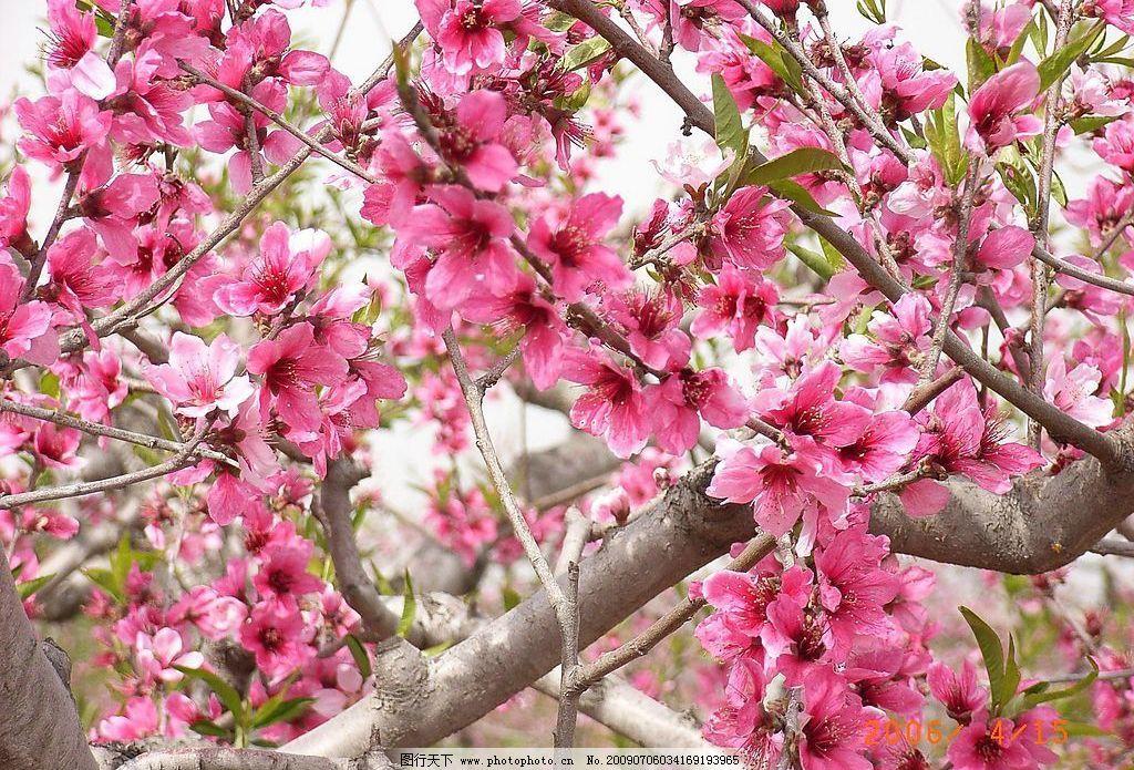 桃花 花 田园 旅游摄影 自然风景 摄影图库 96dpi jpg