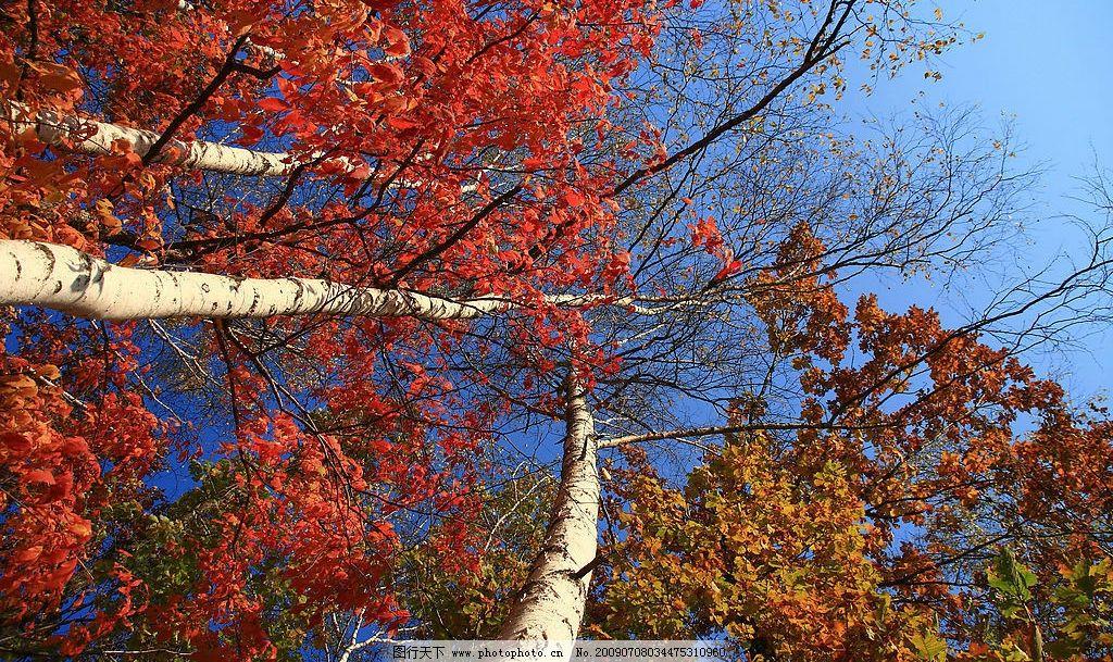 红叶树 红叶 树 蓝天 大树 自然景观 山水风景 摄影图库 300dpi jpg