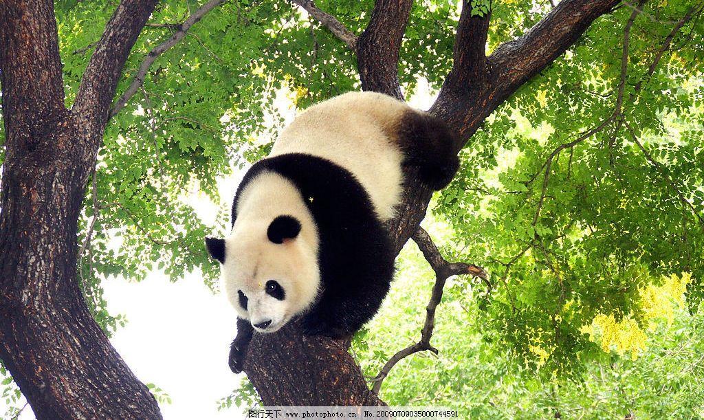 熊猫上树 生物世界 野生动物