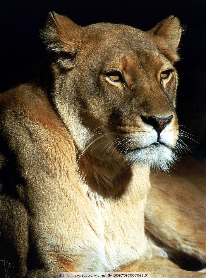 狮子 母狮 生物世界 野生动物 摄影图库 300dpi jpg