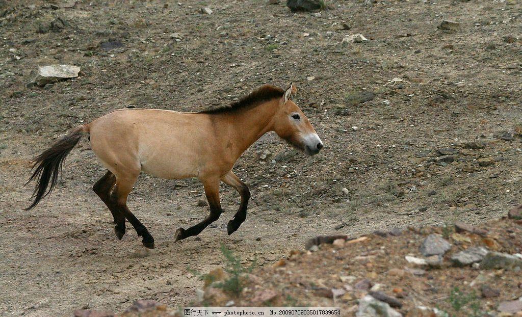 普氏野马 珍稀动物 国家一级保护动物 生物世界 野生动物 摄影图库 72