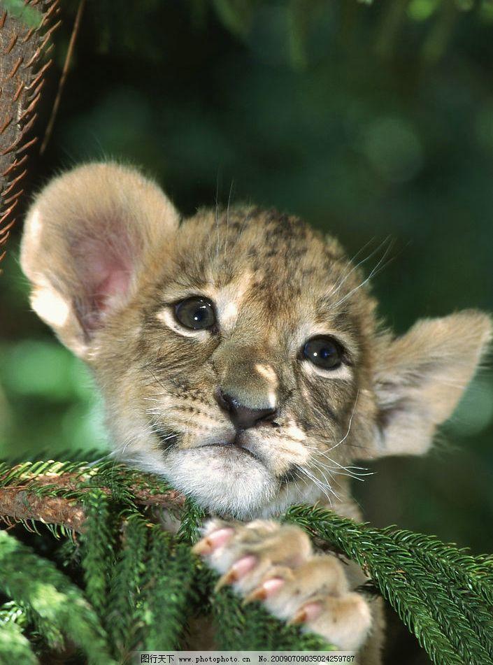 小狮子 可爱 丛林 生物世界 野生动物 摄影图库 300dpi jpg