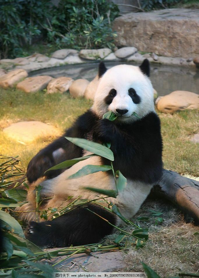 大熊猫 珍惜动物 国宝 国家一级保护动物 生物世界 野生动物 摄影图库