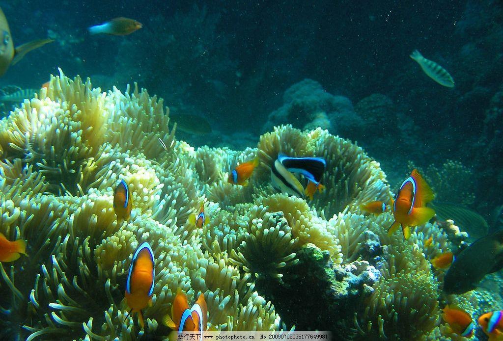 海葵与小丑鱼图片