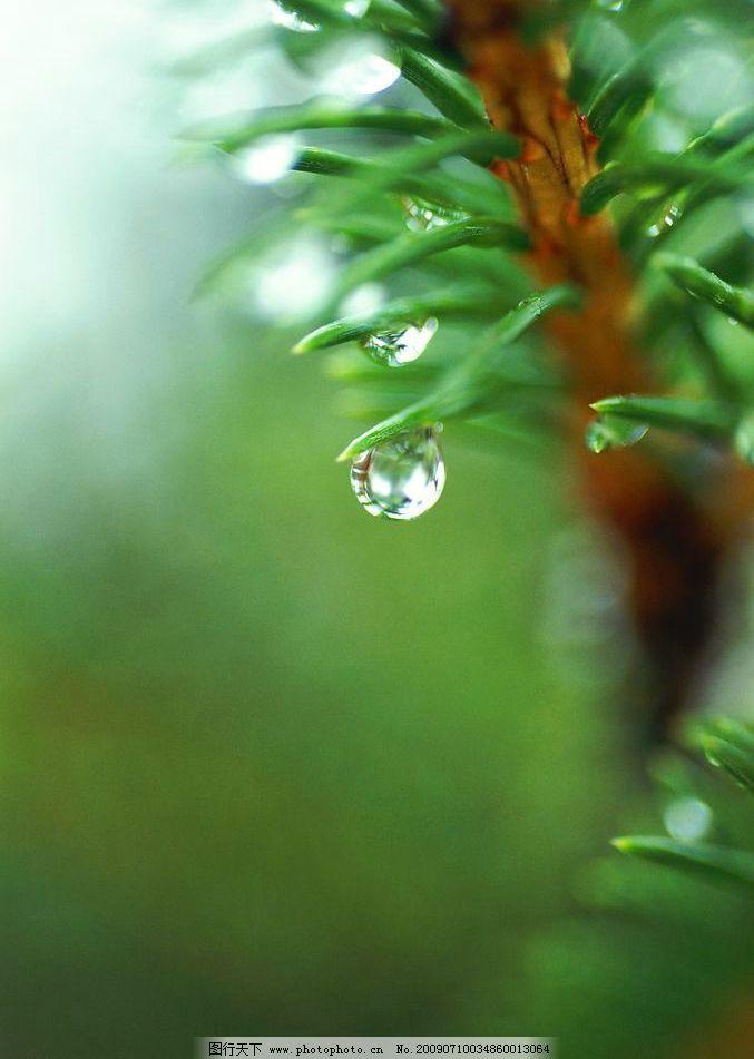 绿叶松针 绿色 松叶 虚化背景 自然景观 自然风景 摄影图库 72dpi jpg