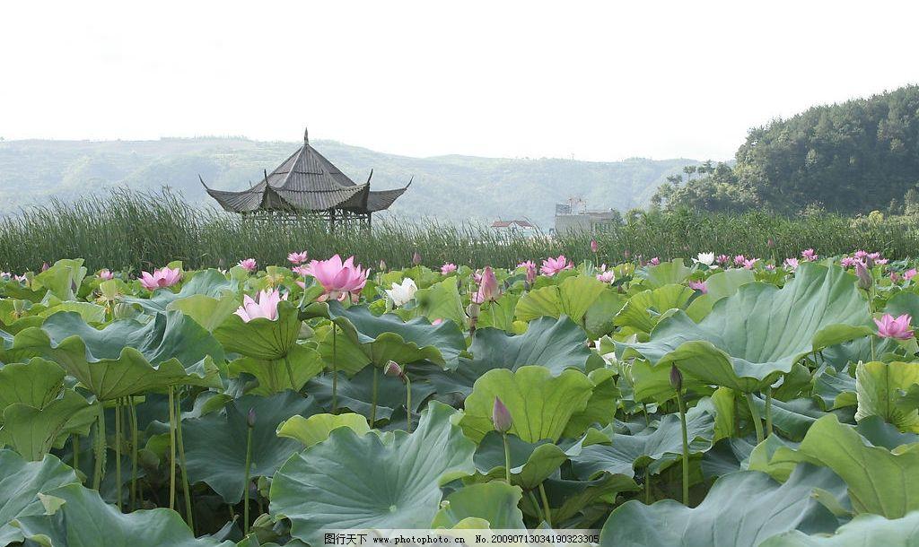 荷花 荷叶 凉亭 绿色 旅游摄影 自然风景 摄影图库 72dpi jpg