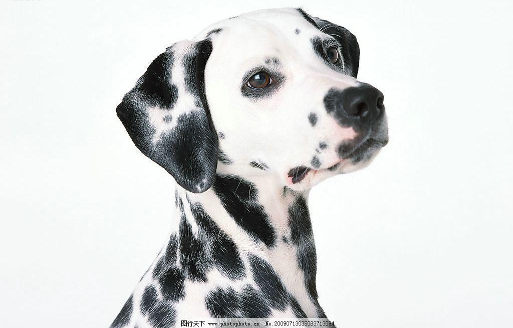 斑点狗 生物世界 野生动物 摄影图库 350dpi jpg