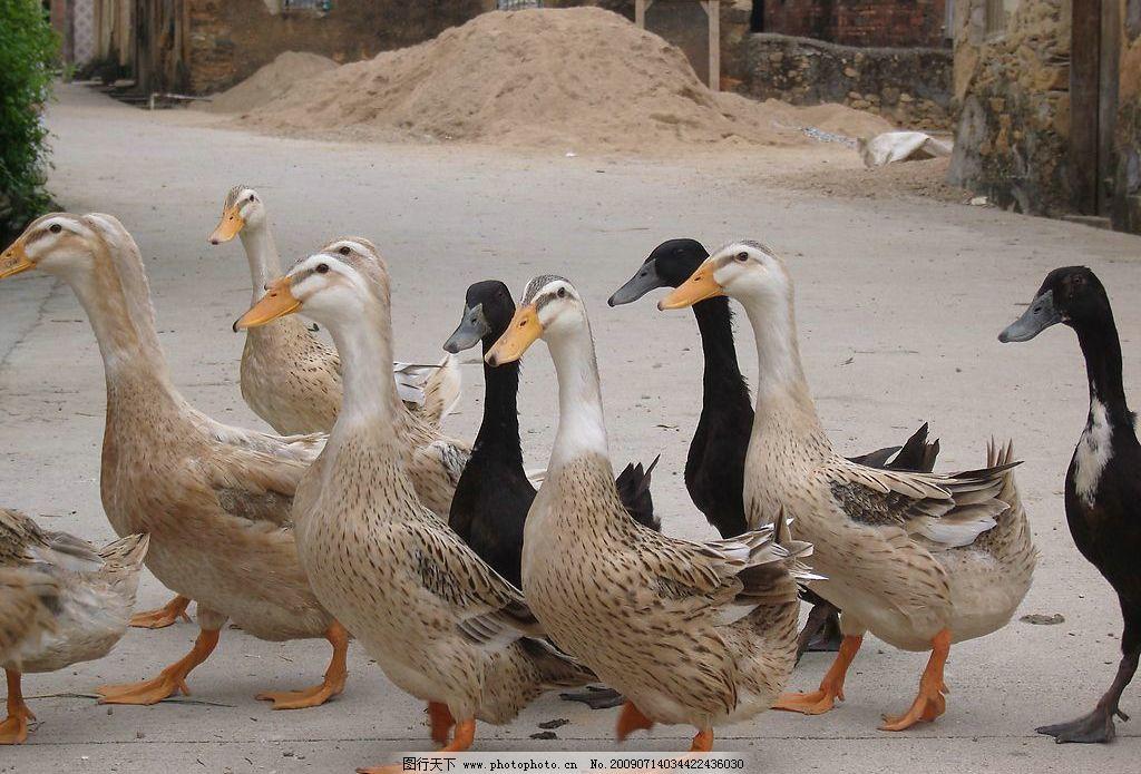 动物 鸭子 黑黄白 自然景观 山水风景 摄影图库