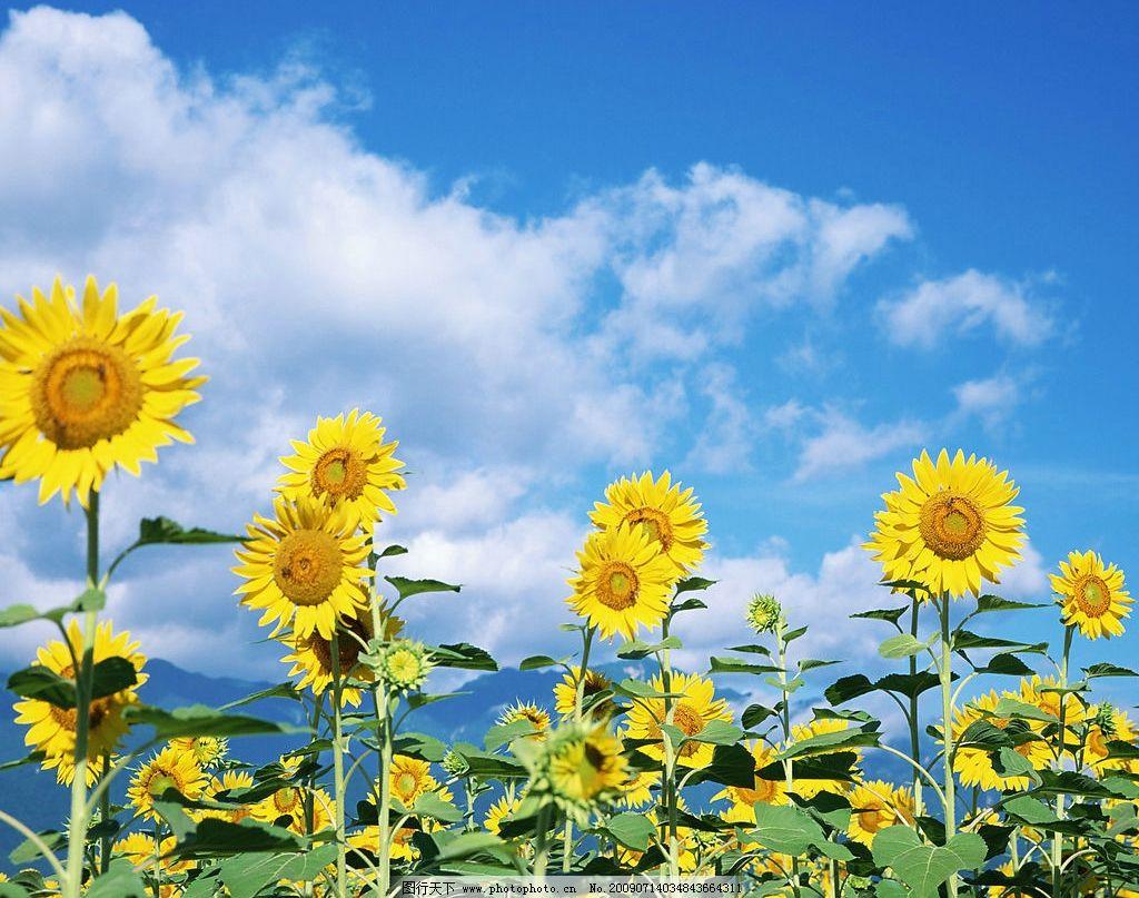 向日葵 太阳花 自然 风景 花 蓝天白云 自然风景 画 自然景观 摄影