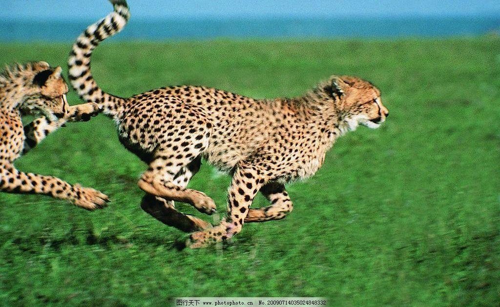 猎豹 豹 猫科 运动 生物世界 野生动物 摄影图库 72dpi jpg