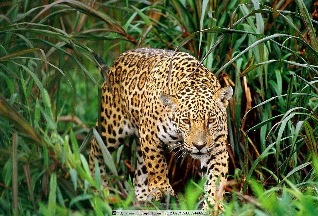 豹子图片_野生动物_生物世界_图行天下图库