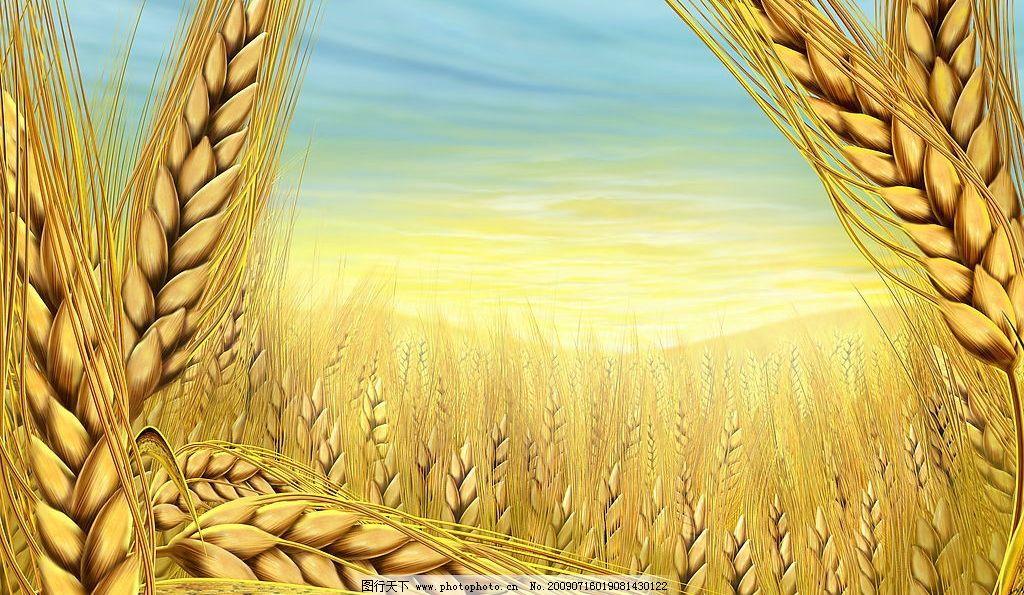 秋天的稻穗 金黄色的 稻子 稻米 稻花 农田 丰收 水彩效果 水粉效果