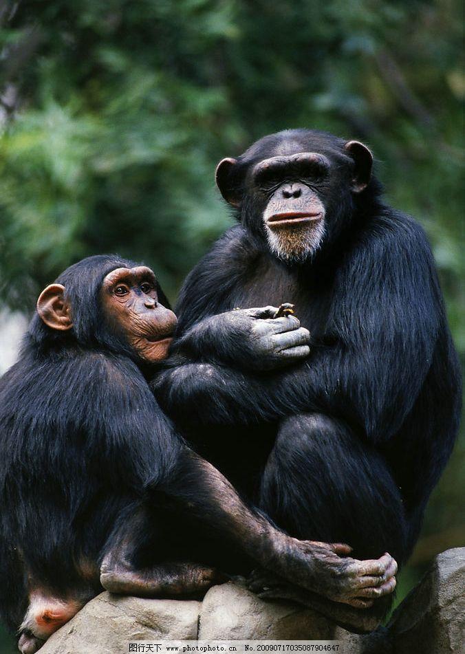 猩猩 双胞胎 森林 生物世界 野生动物 摄影图库 300dpi jpg