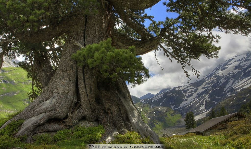 松树 粗壮 山地 雪山 自然景观 自然风景 摄影图库 350dpi jpg