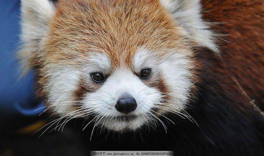小熊猫 小熊猫特写 可爱 毛发 圆眼睛 眼神 注视 生物世界 野生动物