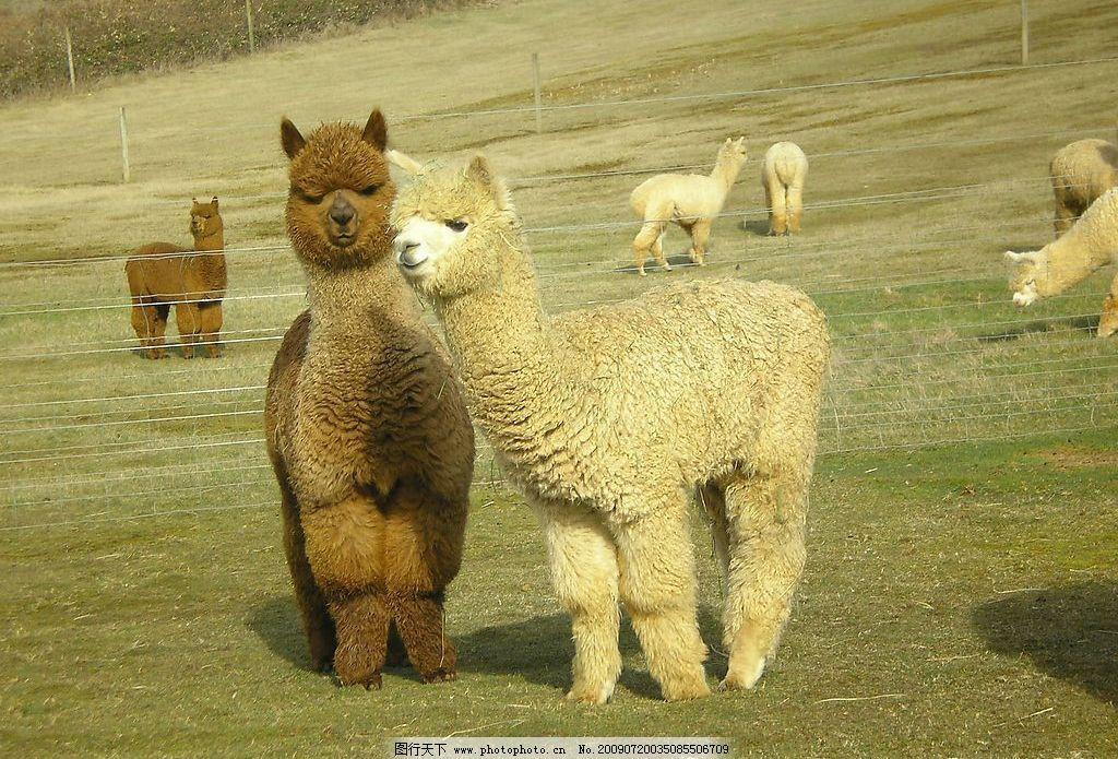 羊驼 美洲驼 无峰驼 草场 生物世界 野生动物 摄影图库 72dpi jpg