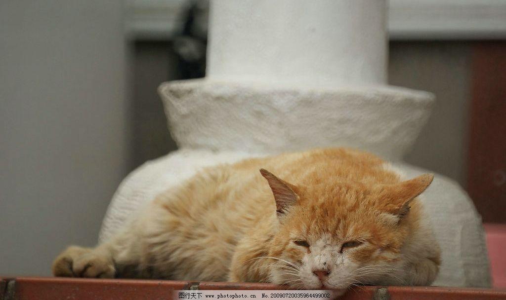 小猫 花猫 可爱 黄白色相间的猫 猫的特写 爬着 打瞌睡的小猫