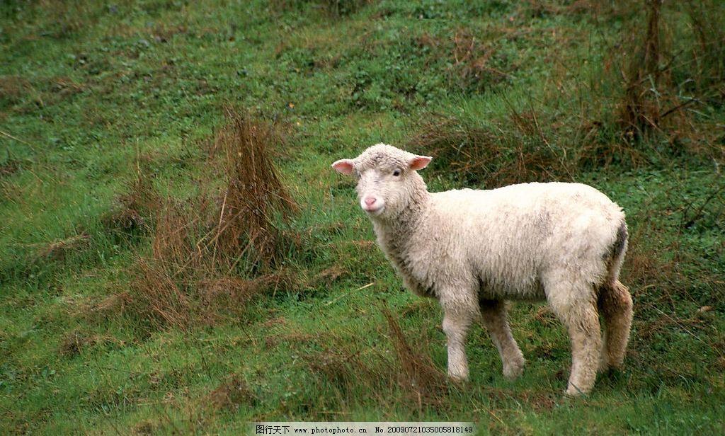 绵羊 生物世界 野生动物 摄影图库