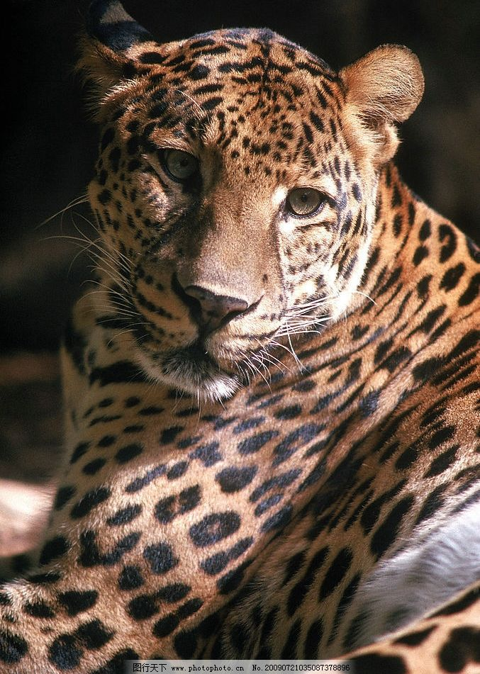 豹子 花豹 猎豹 生物世界 野生动物 摄影图库 300dpi jpg