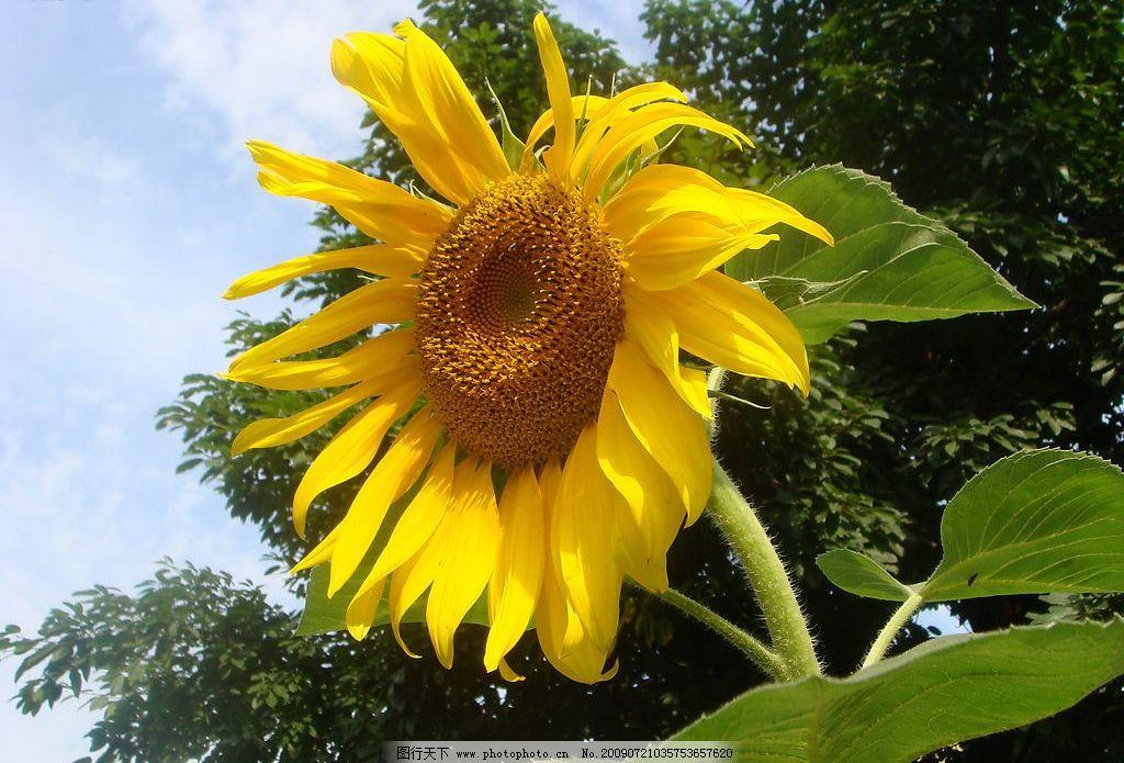 向日葵 摄影 植物 花卉 黄色花朵 生物世界 花草 摄影图库 72dpi jpg
