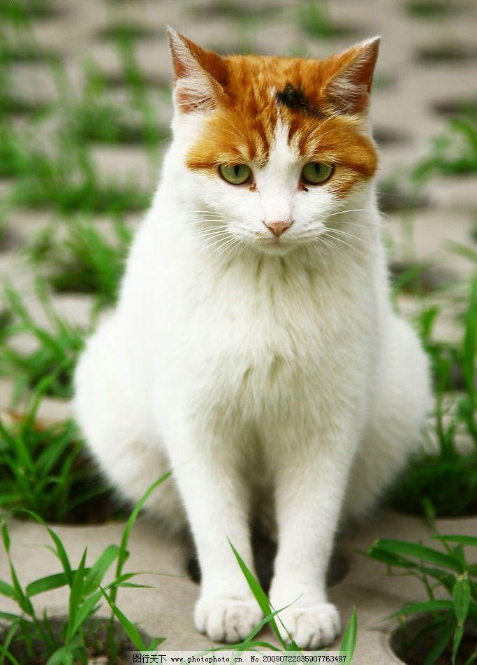 猫咪 黄色 白色 可爱 胖乎乎 毛茸茸 爪子 生气 生物世界 家禽家畜 摄