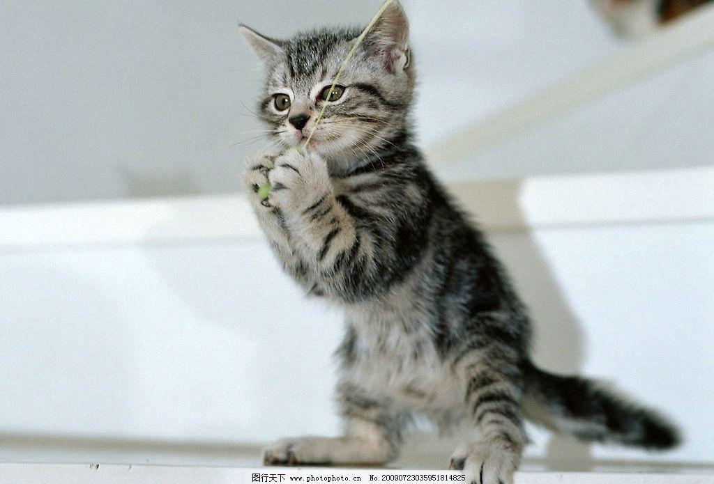 猫的爪爪 猫咪 花纹猫咪 可爱小猫 活波 家居宠物 玩耍 摄影图库