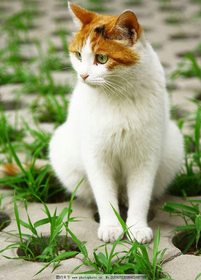 猫咪 黄色 白色 可爱 胖乎乎 毛茸茸 爪子 生气 灰色 草地 生物世界