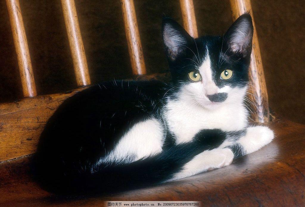 大花猫 可爱小猫 动物世界 猫 家猫 花猫 宠物 可爱 生物世界 家禽