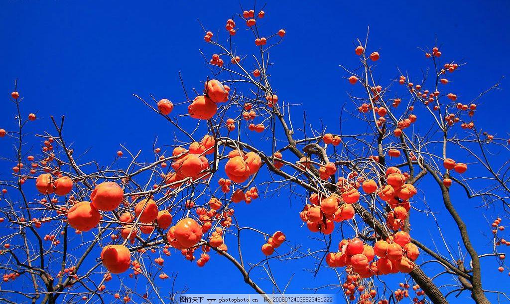 果树 柿子树 大自然 景观 景象 生物 植物 天空 树木 果实 水果 生物