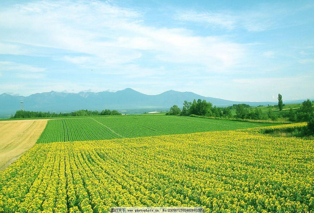 向日葵 葵花 田野 黄花 绿叶 花朵 鲜花 背景 风景 天空 蓝天