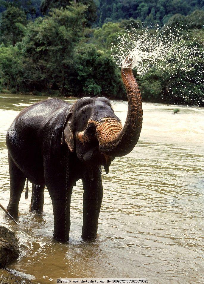 大象 生物世界 野生动物 摄影图库