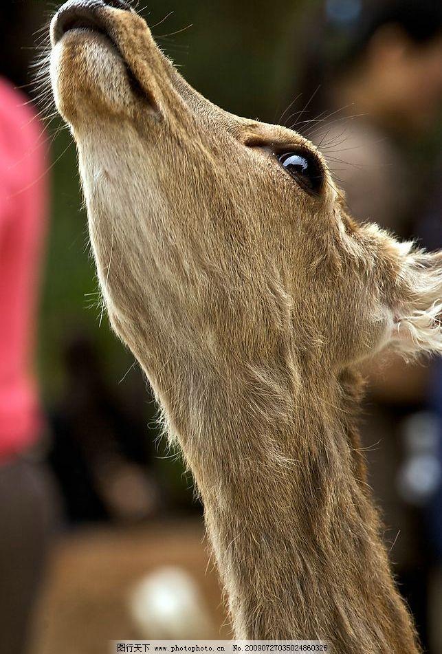 麋鹿 鹿 动物园 游人 喂食 特写 生物世界 野生动物 摄影图库 72dpi