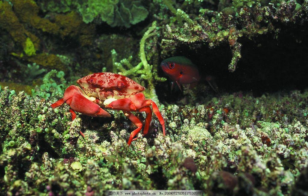 螃蟹 海底世界 珊瑚礁 生物世界 海洋生物 海洋世界 摄影图库 72dpi