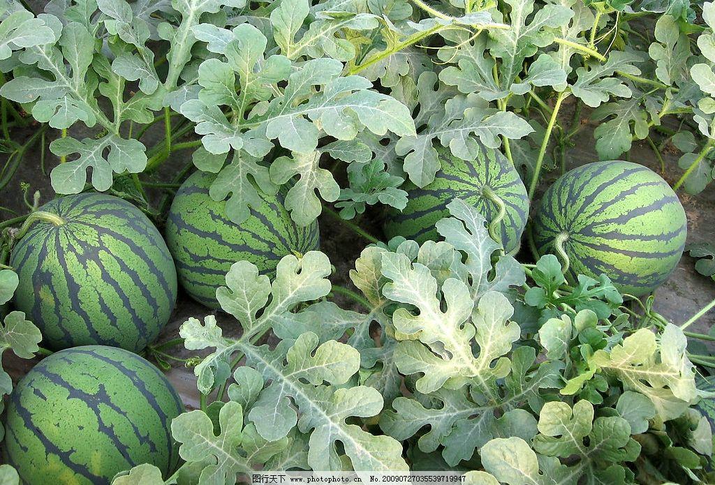 新鲜西瓜图片