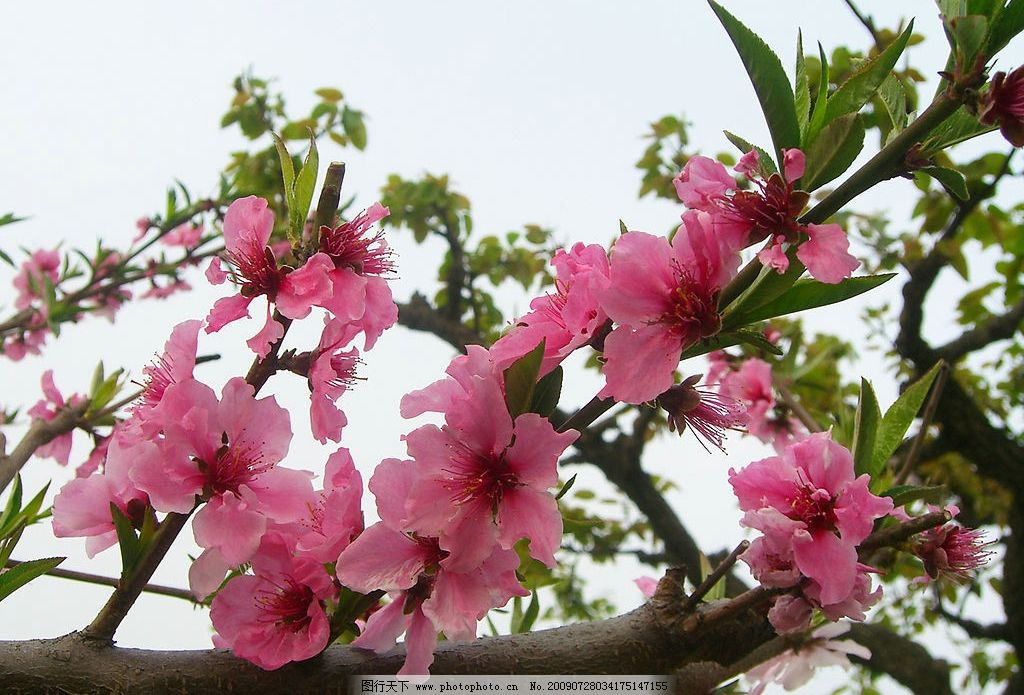 盛开的桃花 旅游摄影 自然风景 摄影图库