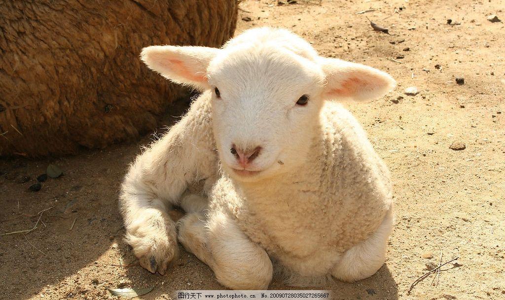 绵羊 幼崽 坐 生物世界 野生动物 摄影图库 72dpi jpg