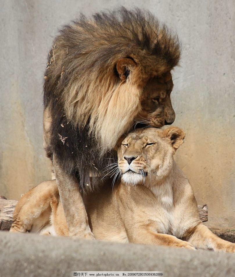 狮子 雄狮 雌狮 恩爱 生物世界 野生动物 摄影图库 72dpi jpg