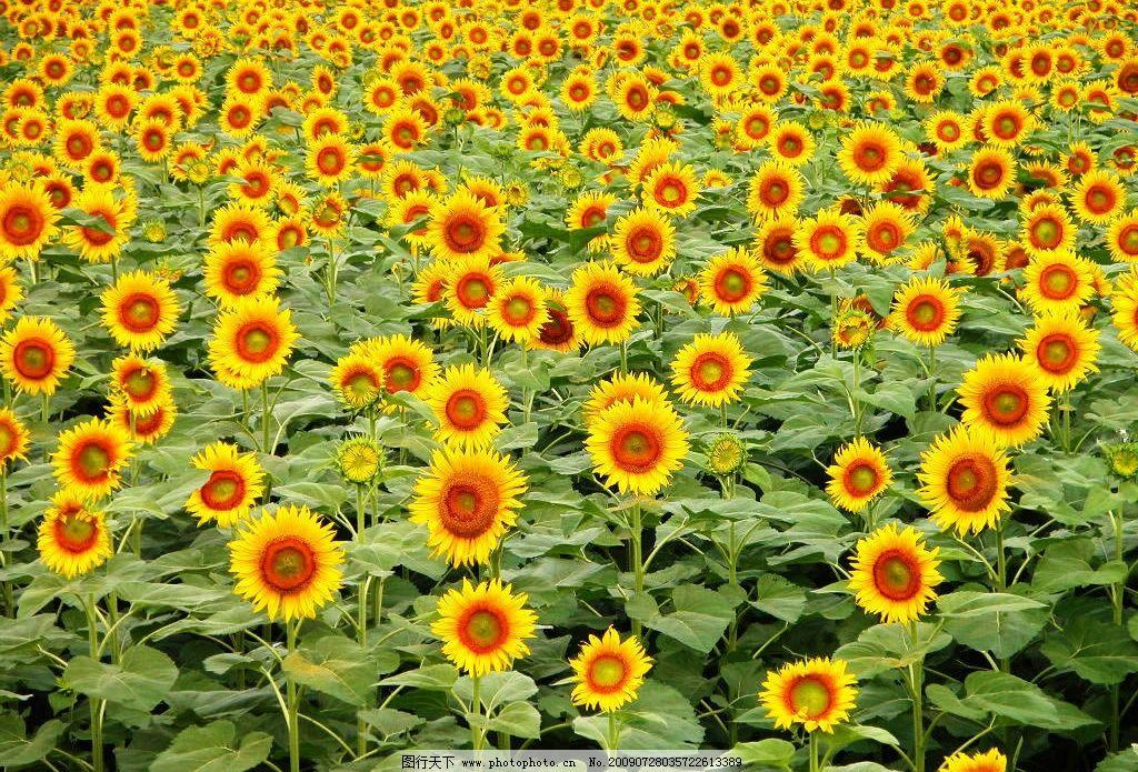向日葵 生物世界 花草 风景花卉 摄影图库 72dpi jpg