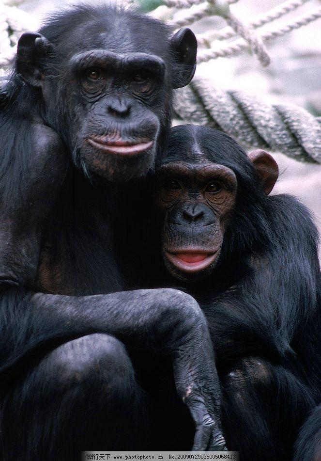 猩猩 母子 亲情 生物世界 野生动物 摄影图库 300dpi jpg