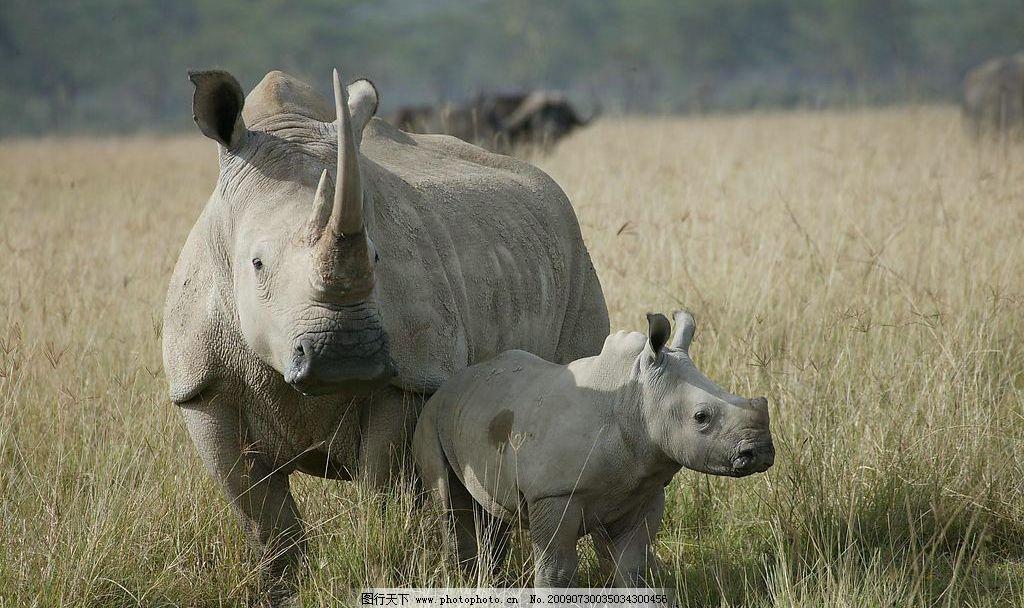 犀牛 生物世界 野生动物 摄影图库