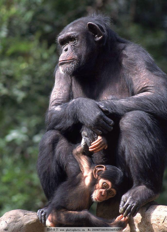 猩猩 母子 生物世界 野生动物 摄影图库 300dpi jpg