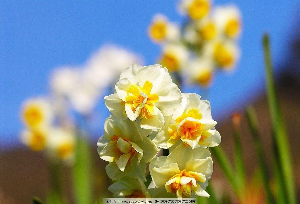水仙花 鲜花 花卉 大自然 天空 摄影 摄影图库
