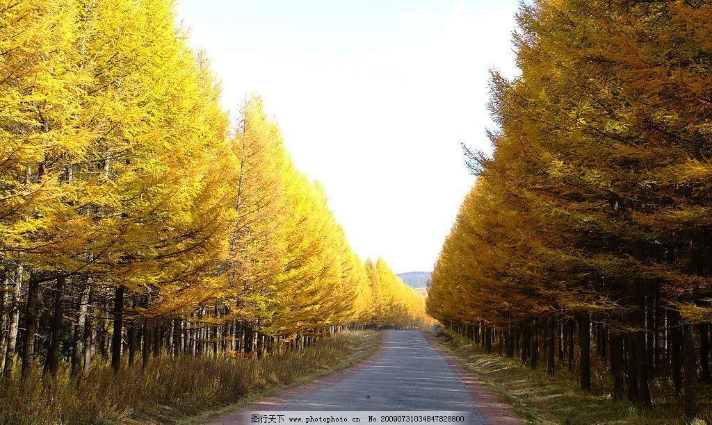 秋天落叶黄 秋天 落叶 松树 树林 小路 蓝天 风景 自然 黄 自然景观