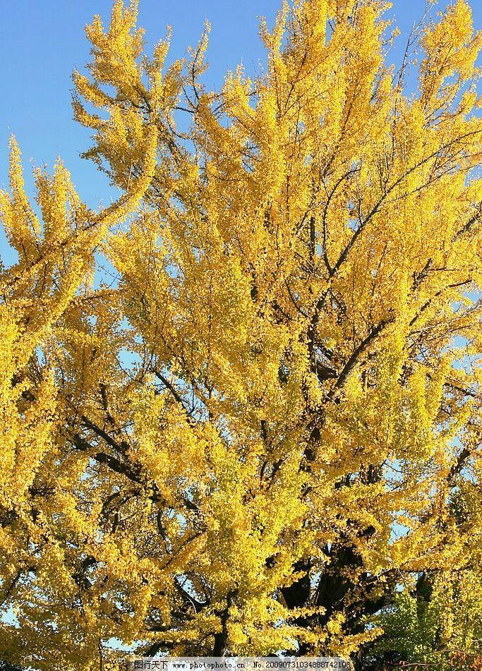 银杏树 银杏 银杏叶 秋天 风景 自然景观 自然风景 摄影图库 350dpi j
