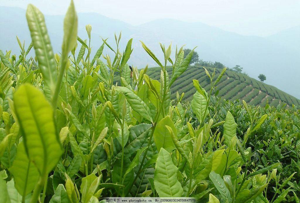 茶山 千岛湖 茶园 旅游摄影 自然风景 摄影图库