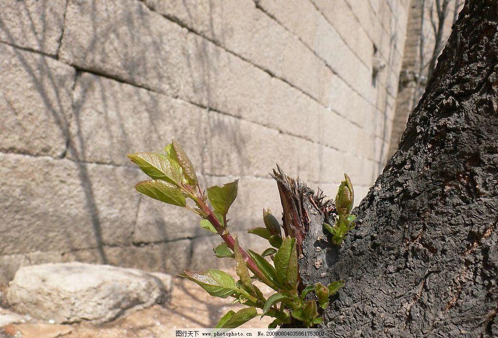 春芽 节外生枝 生物世界 树木树叶 摄影图库 72dpi jpg